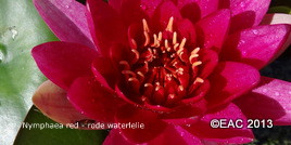 roze waterlelie