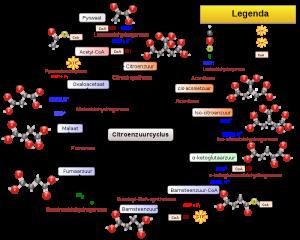 Citroenzuurcyclus