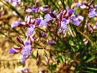 Polygala-tenuifolia